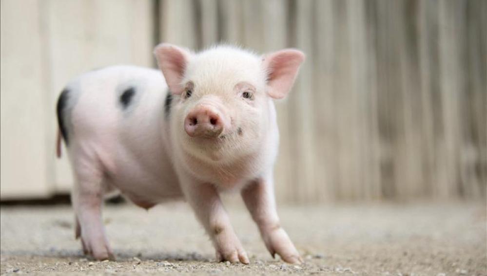 Una cría de cerdo vietnamita