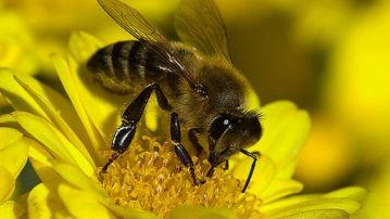 Un grupo de investigadores encuentra en abejas antisociales el mismo perfil genético que gente con autismo