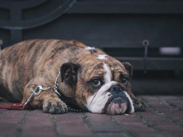 La obesidad también afecta a las mascotas de EEUU