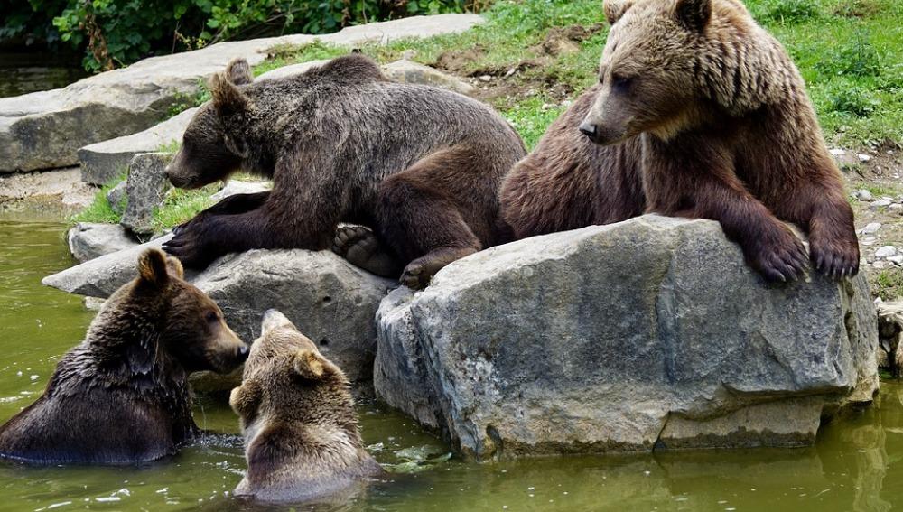 Imagen de archivo de una manada de osos pardos