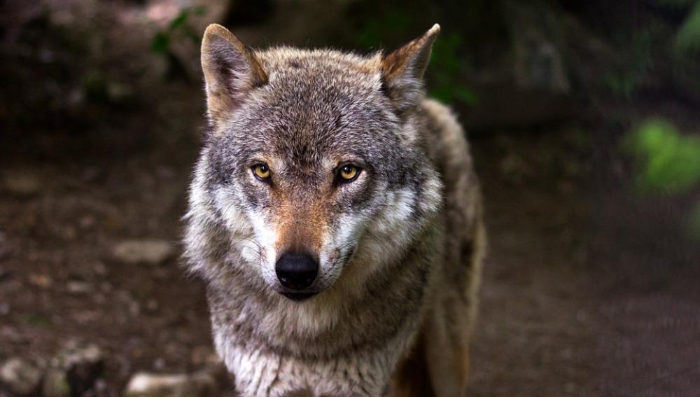 Cuatro lobos pierden la vida en las carreteras madrileñas en dos años