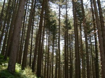 Imagen de archivo de un bosque de Pinos Laricios