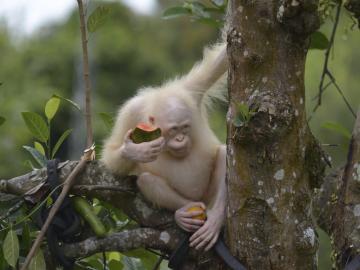 La oranguntana Alba trasladada a una zona protegida