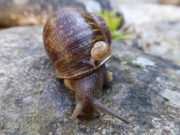 Jeremy, el peculiar caracol 'zurdo', muere tras encontrar pareja y ser padre