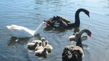 El ganso Thomas con la pareja de cisnes negros