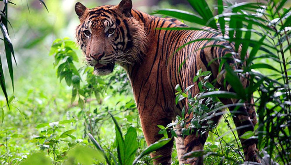 Protección de los tigres