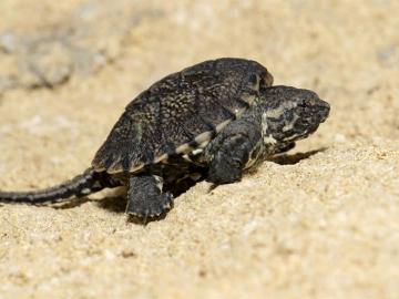 Ejemplar de la Chelydra acutirostris (tortuga lagarto)