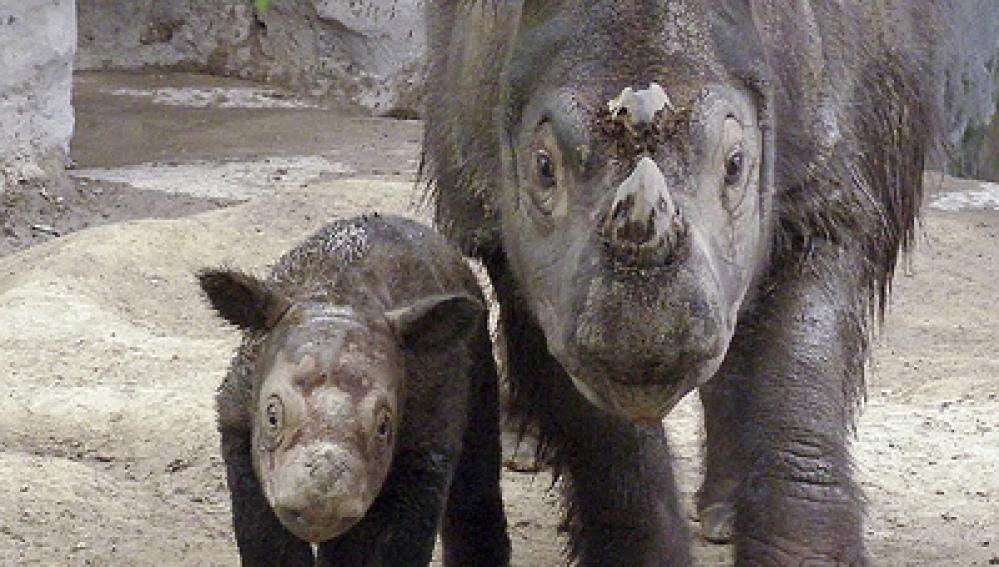 El rinoceronte de Sumatra ('Diceros sumatrensis')