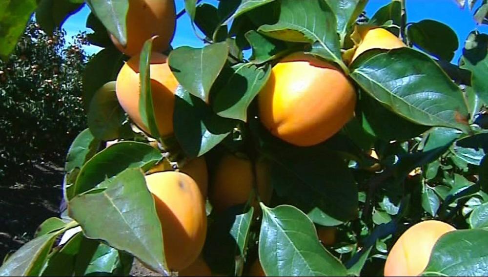 El caqui es una de las frutas que más azúcares aporta