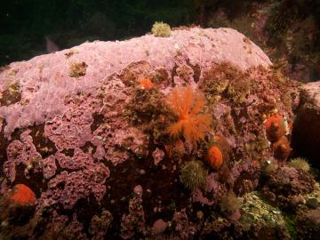 Alga coralina 'Clathromorphum compactum'