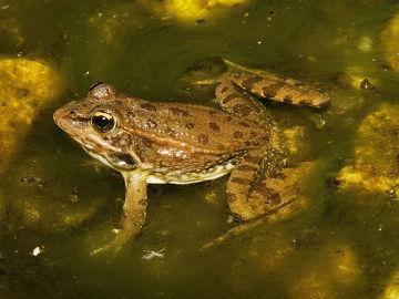 Ejemplar de rana común