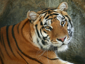Aumenta un 30% el tigre de bengala en la India