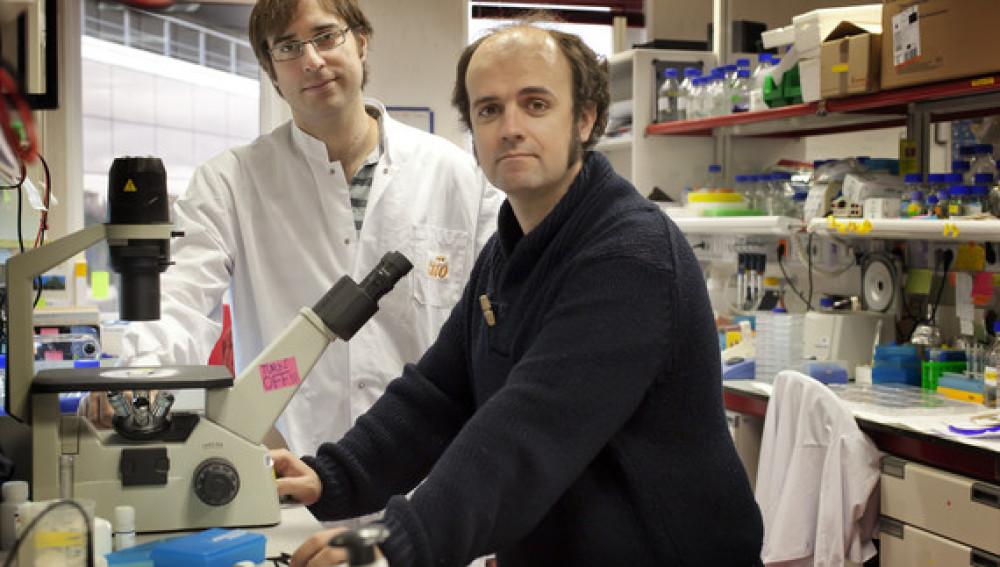 Duplican la vida de ratones con envejecimiento prematuro