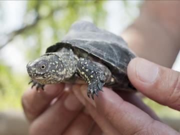 Liberan 70 ejemplares de tortuga lago en Girona para recuperar la especie