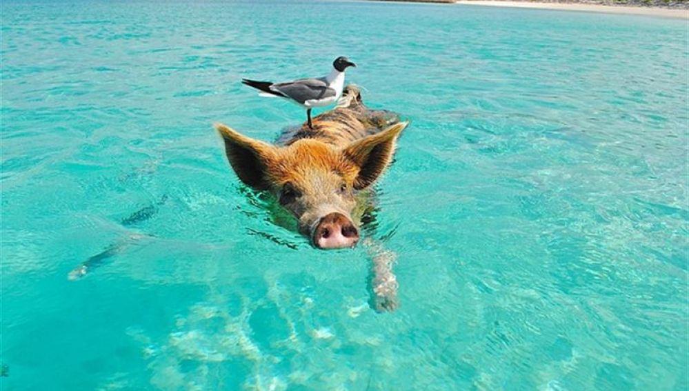 Pig Beach,una curiosa playa de las Bahamas