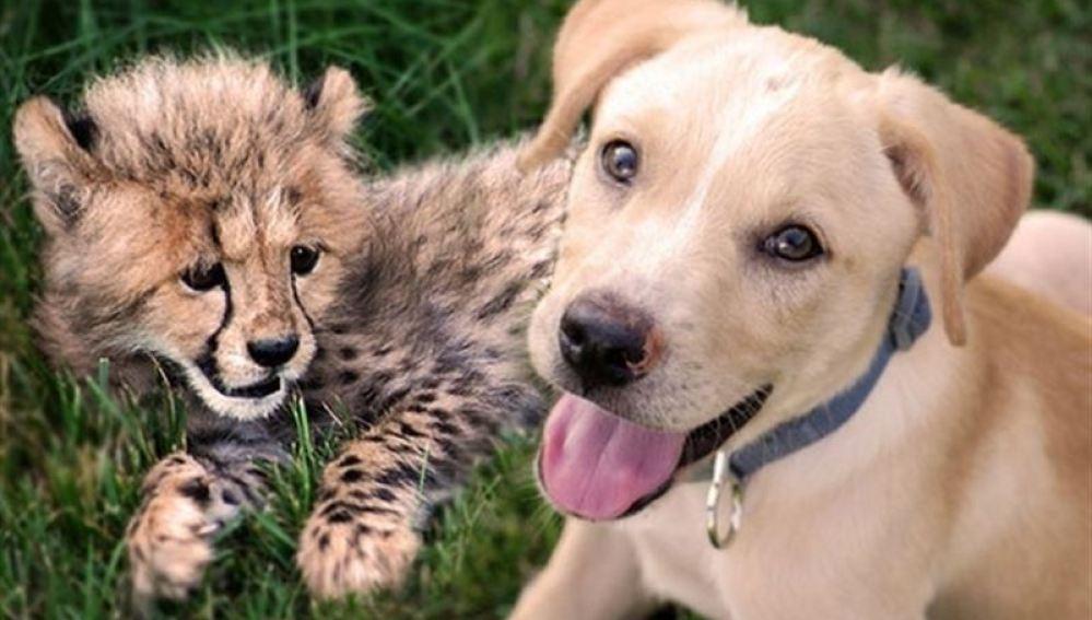 Entrañable amistad entre un guepardo y un perro callejero