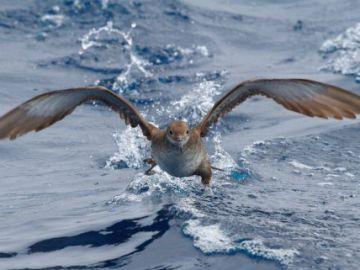 Desarrollan tecnología móvil para seguir los patrones de vuelo de aves marinas