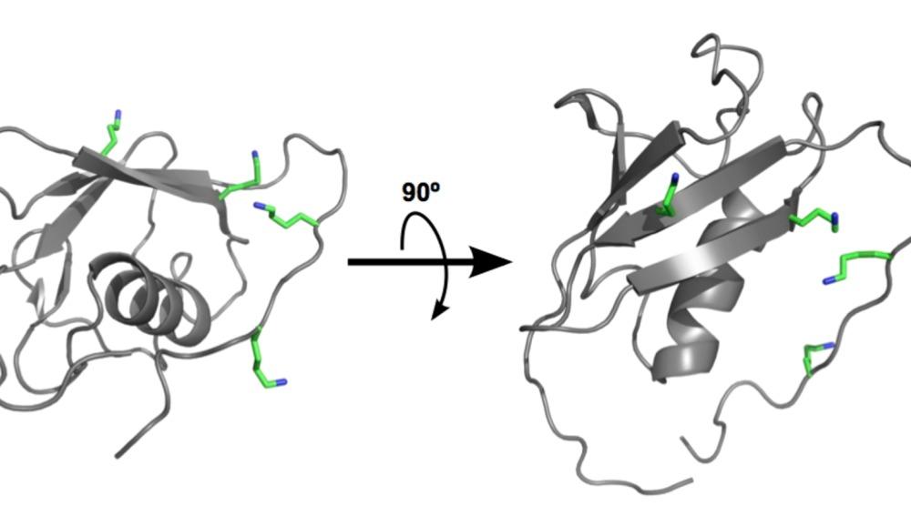 La proteína SUMO con las regiones que se marcan con ubiquitina representadas en color verde.