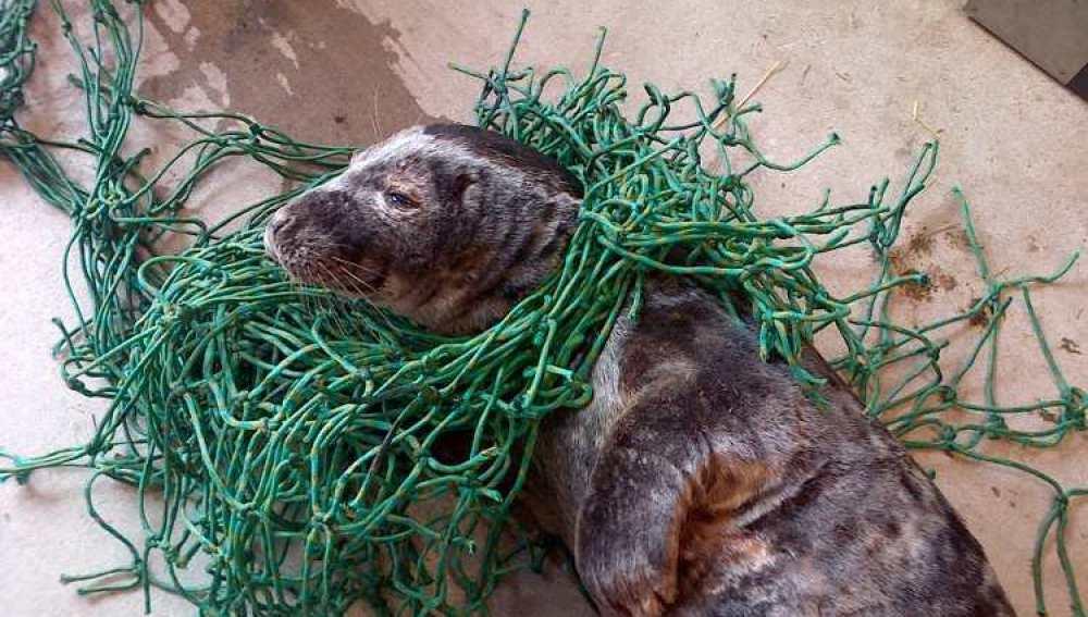 La foca que fue encontrada enredada en una red de pesca
