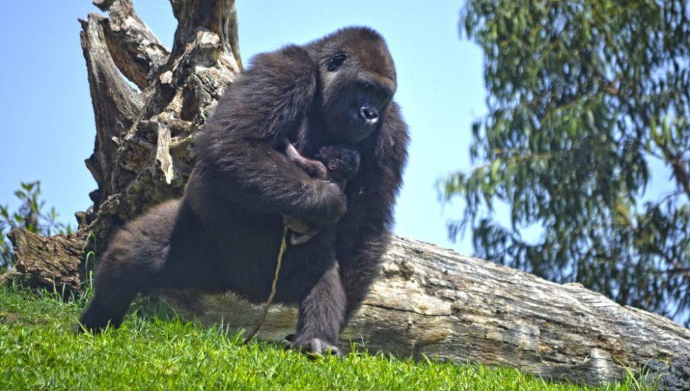 Hazte eco nace un gorila a la vista del p blico en el bioparc de valencia - Telefono bioparc valencia ...