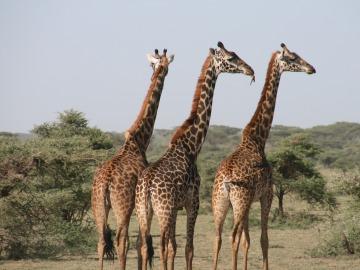Las jirafas entran en la lista de animales amenazados