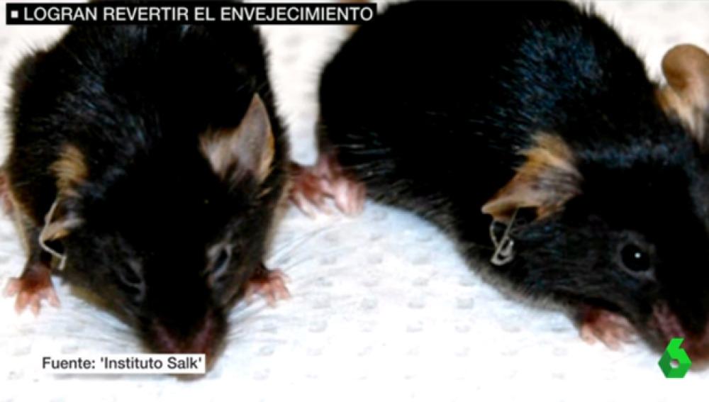 Científicos españoles logran revertir el envenjecimiento en ratones
