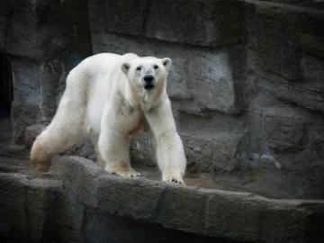 Los osos de Alaska se convierten en refugiados del cambio climático