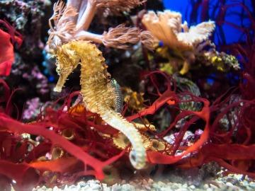Los caballitos de mar reducen sus poblaciones por la destrucción de su hábitat en el Mediterráneo