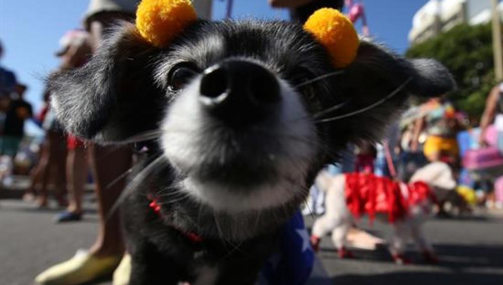 Carnaval de Río de Janeiro para perros