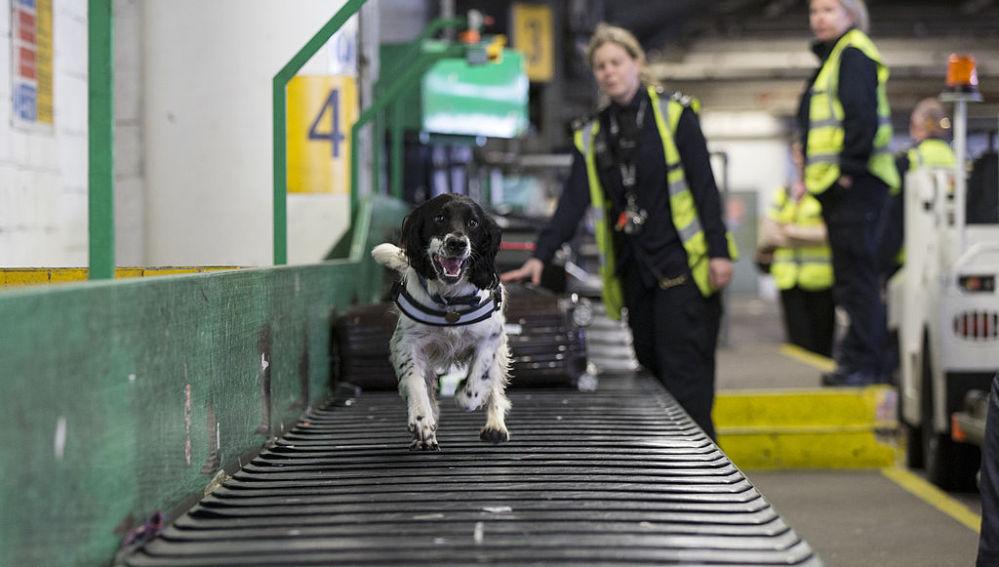 Un perro corre por una cinta transportadora en un aeropuerto