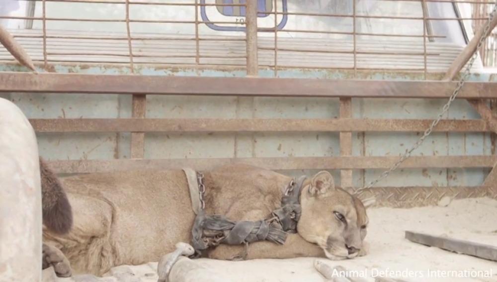 Rescatan a un puma tras 20 años en unas condiciones pésimas