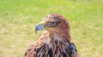 Águila Real