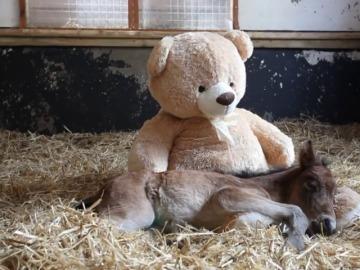 Una yegua recién nacida duerme con un oso de peluche tras perder a su madre