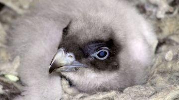 Nace en Andalucía el primer pollo de quebrantahuesos en libertad  de 2018