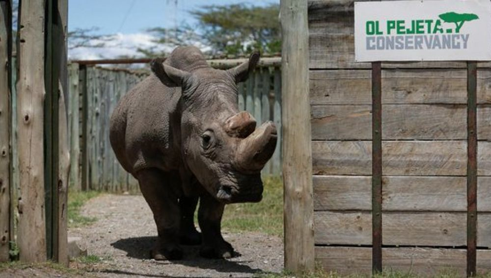 El último rinoceronte blanco del norte macho que quedaba en el mundo