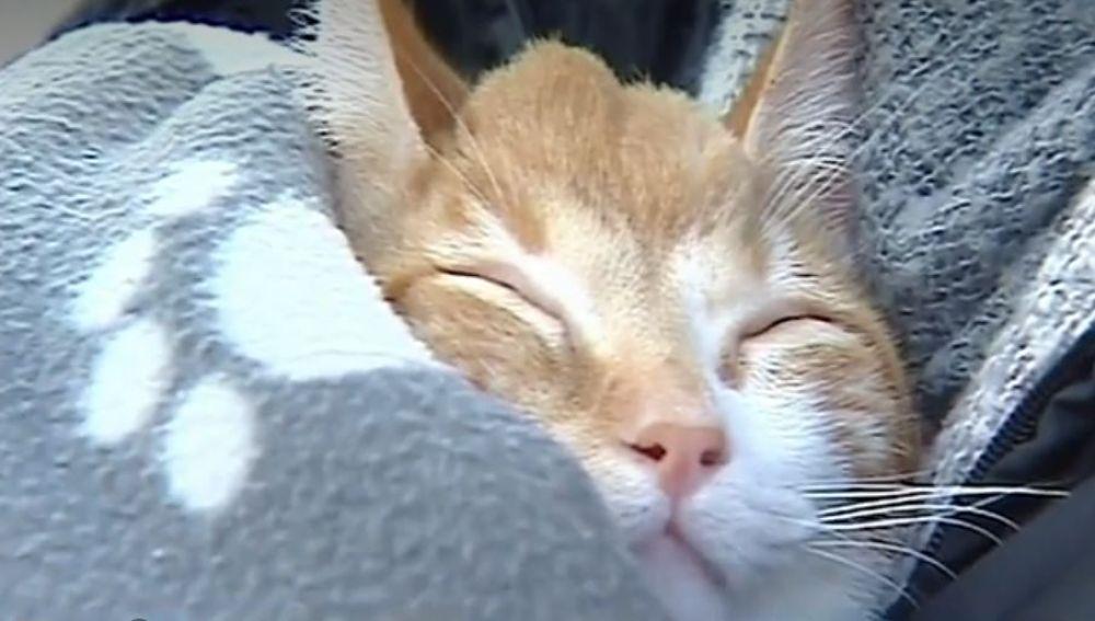Veterinarios españoles fabrican un implante con una impresora 3D para una gata que nació sin una parte del cráneo