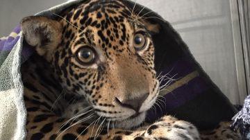 Un jaguar vuelve a caminar tras quedar cuadripléjico a causa de 18 disparos