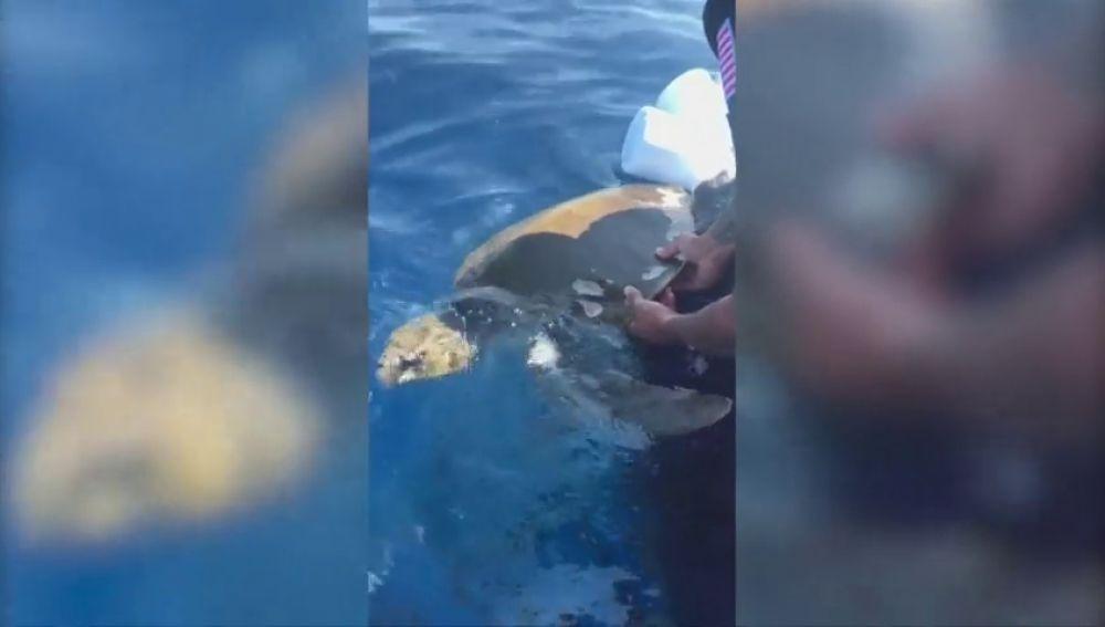 Liberan a una tortuga enredada en un equipo de pesca
