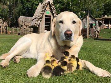 Un perro labrador adopta a nueve patitos que fueron abandonados por su madre